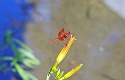 基于花的猩红色蜻蜓 库存照片