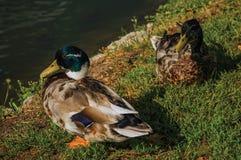 基于草坪的两只鸭子特写镜头在水旁边在日落在韦斯普 免版税图库摄影