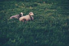 基于草坪的两只绵羊 库存照片