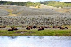 基于草甸的北美野牛 库存照片