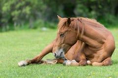 基于草甸的马 免版税库存照片