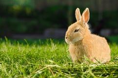 基于草的家养的橙色兔子 库存图片