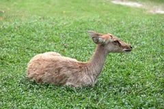 基于草的布朗羚羊 免版税库存照片