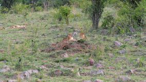 基于草的幼狮在非洲大草原的灌木附近 影视素材