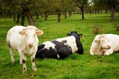 基于草的比利时母牛 免版税库存照片