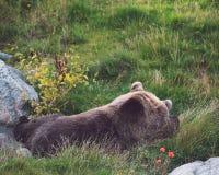 基于草的熊 免版税库存照片