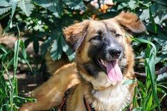 基于草的美丽的棕色狗。室外画象 图库摄影