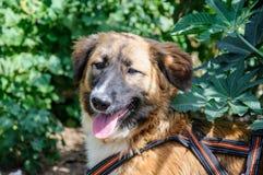基于草的美丽的棕色狗。室外画象 免版税图库摄影
