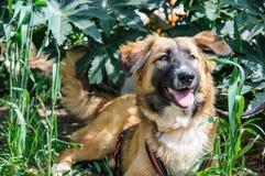 基于草的美丽的棕色狗。室外画象 库存图片