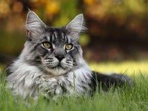 基于草的雄猫 免版税库存图片