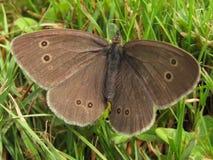 基于草的蝴蝶 库存照片