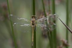 基于词根的蜻蜓 免版税库存照片
