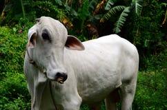 基于象草的领域的白色婆罗门母牛 库存照片