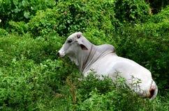 基于象草的领域的白色婆罗门母牛 免版税库存图片