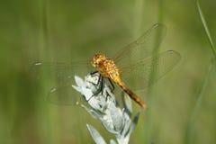 基于贤哲,布兰登河岸发现中心的金黄蜻蜓 免版税库存图片