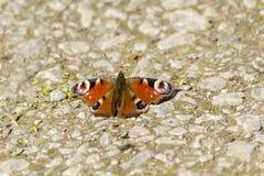 基于道路的蝴蝶 免版税库存照片
