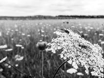 基于野胡萝卜花的Hoverflies在英国草甸 图库摄影