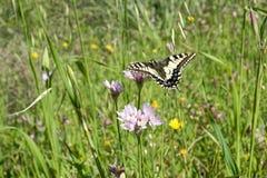 基于野葱花的Macaone蝴蝶  撒丁岛, M 免版税库存图片