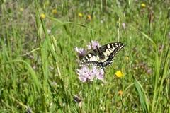 基于野葱花的Macaone蝴蝶  撒丁岛, M 图库摄影