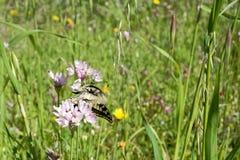 基于野葱花的Macaone蝴蝶  撒丁岛, M 库存图片
