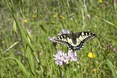 基于野葱花的Macaone蝴蝶  撒丁岛, M 库存照片