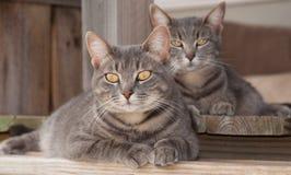基于门廊的二只逗人喜爱的蓝色虎斑猫 免版税库存照片