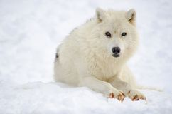 北极狼(天狼犬座arctos) 免版税库存图片