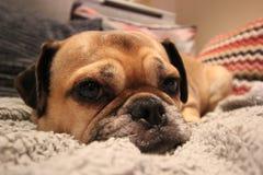 基于风景的沙发关闭的狗 免版税库存图片