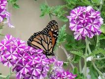 基于马鞭草属植物绽放的黑脉金斑蝶 图库摄影