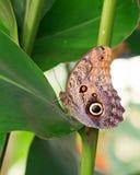 基于鲜绿色的叶子的一只大猫头鹰蝴蝶 库存照片