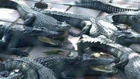 基于鳄鱼农场的鳄鱼 大鳄鱼和掠食性爬行动物在动物农场 影视素材