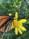 基于黄色花的黑脉金斑蝶 免版税库存图片