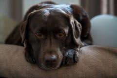 基于他的枕头的逗人喜爱的狗 免版税库存图片