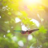 基于麻线的猩红色摩门教蝴蝶(papilio rumanzovia) 免版税图库摄影