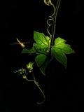 基于绿色发光的叶子的金黄蜻蜓 免版税图库摄影