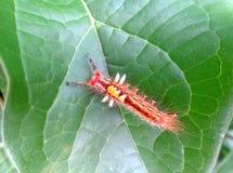 基于绿色叶子的一条红色毛虫的特写镜头 图库摄影