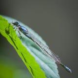 基于绿色叶子的蓝色蜻蜓 库存图片