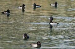 基于绿色池塘的圆环收缩的鸭子群  免版税库存照片