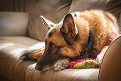 基于绿色长沙发的德国牧羊犬狗由阳光点燃了 免版税库存图片