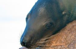 """基于""""the Pointâ€土地Los卡约埃尔考斯End† 或""""Pinnacle的加利福尼亚海狮在Cabo圣卢卡斯在巴哈墨西哥 库存图片"""