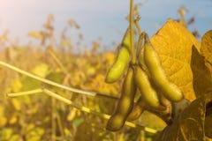 基因上修改过的大豆荚在领域的成熟周期 库存图片