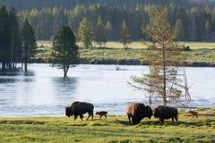 基因上纯净的北美野牛-黄石国家公园 库存照片