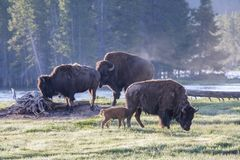 基因上纯净的北美野牛-黄石国家公园 库存图片