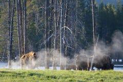 基因上纯净的北美野牛-黄石国家公园 免版税库存图片