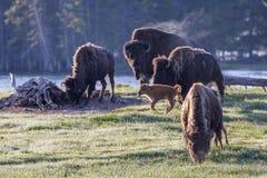 基因上纯净的北美野牛-黄石国家公园 免版税库存照片
