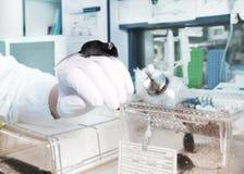 基因改造的老鼠在现代实验室 图库摄影