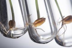 基因被操作的小植物在试管,麦子基因发芽 免版税库存照片