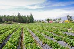 基多,厄瓜多尔- 2017年11月, 13日:的美丽的种植园草莓植物行在草莓领域的 免版税库存图片
