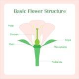 基本的花结构计划  学会生物 免版税库存图片