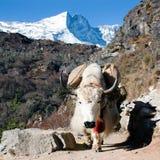 基本阵营对方式牦牛的珠穆琅玛尼泊尔 图库摄影